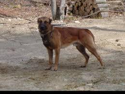 belgian sheepdog golden retriever mix belgian tervuren german shepherd mix dog and cat