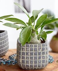 Buy House Plants Buy House Plants Now Intenz Home Myrmecodia U0027adventure U0027 Bakker Com