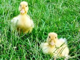 raising ducks or chickens ten reasons to choose ducks hgtv