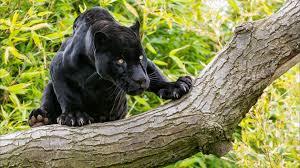 Desktop Hd Free Pictures Animals Animals Black Panther On A Tree Desktop Wallpaper Hd 2560x1600