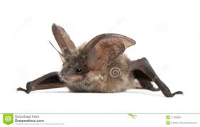 grey long eared bat against white background royalty free stock