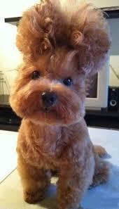 shih tzu with curly hair crazy but super cute doggie updo cute dog photos gracie lu