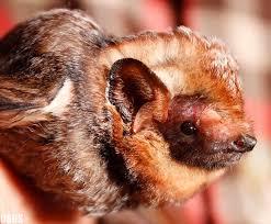 As Blind As A Bat Meaning Hawaiian Hoary Bat ʻōpeʻapeʻa Lasiurus Semotus