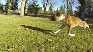 3 legged boxer dog adorable boxer pup with only two legs has heart of a lion daily