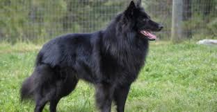 belgian sheepdog oklahoma hunting u201cbloodhound u201d as loyal companion pet about pet life