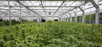 marijuana growers and greenhouse companies help each other find a
