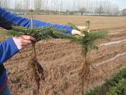 christmas tree seedlings for sale learntoride co