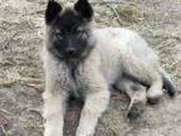 belgian sheepdog for sale in texas view ad belgian tervuren puppy for sale missouri higginsville usa