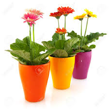 colorful gerber plants in flower pots isolated over white stock