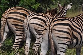 a question of stripes a bushsnob in wild africa