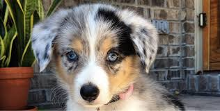 australian shepherd dachshund 19 gorgeous corgi mixes that are almost too cute to be real