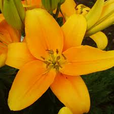 buy awesome asiatic lilies 30 bulbs pack online buy 6000