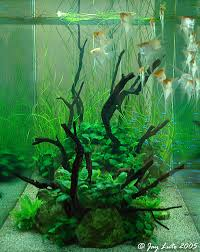 Tank Aquascape Angelfish Tank Aquascaping Aquatic Plant Central