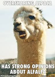 Alpaca Sheep Meme - 38 alpaca memes that will either be the funniest or weirdest thing