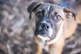 boxer dog rescue boxer dog shelter dog dog photography nashville dog dog