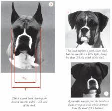 boxer dog jaw illustrated standard 2