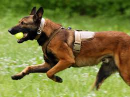 belgian shepherd health problems top 10 police dogs and best guard dogs in the world 2017