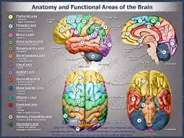 Image Of Brain Anatomy Anatomy And Functional Areas Of The Brain Spartan1 Pinterest