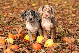 bluetick coonhound puppies for sale in louisiana catahoula leopard dog puppies for sale in tennessee