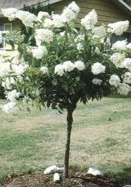 114 best ornamental trees images on flowers garden