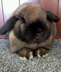 10 popular and cute rabbit breeds that are raised as pets the