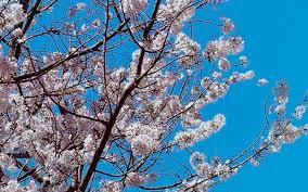 Cherry Blossom Pics | international cherry blossom festival macon ga
