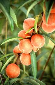 growing peaches and nectarines in the home landscape ohioline