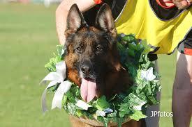 belgian shepherd victoria australia german shepherd dog council of australia