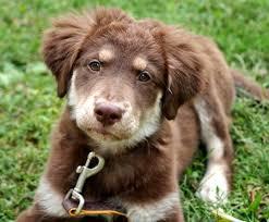 australian shepherd boxer mix golden retriever australian shepherd mix puppies photo happy dog