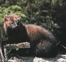 West Virginia wild animals images Fishers in west virginia jpg