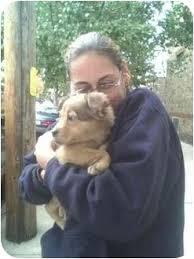 belgian sheepdog golden retriever mix susie adopted puppy new york ny belgian shepherd golden