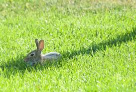 cottontail rabbits plants and animals of northeast colorado