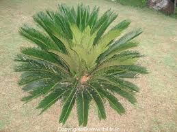 cycas plant ornamental plant sagu palm
