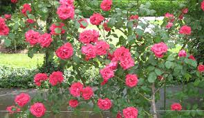 transplanting canadian climbing roses horticulture talk