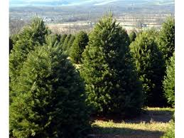 cut your own christmas tree in monmouth howell nj patch