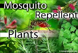 best plant for mosquito repellent top 10 plants that act as natural mosquito repellent going evergreen