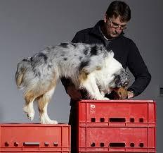 australian shepherd 5 wochen 21 best bullterrier images on pinterest watches youtube and art
