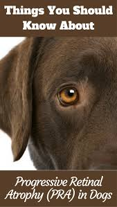 progressive retinal atrophy pra in dogs what you should know