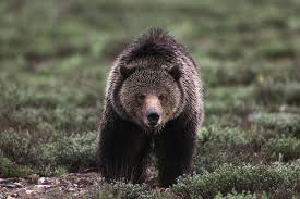 bear mauling in wyoming why do they attack