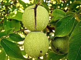 free photo fruits vegetable tree almond nature autumn max pixel