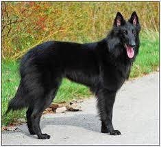belgian shepherd standard belgian sheepherd dog belgian shepherd malinois dog standard