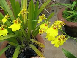 oncidium orchid oncidium orchids orchid care orchid oncidium growers ramsay
