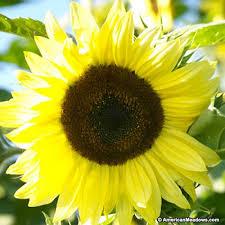 sunflower seeds american meadows