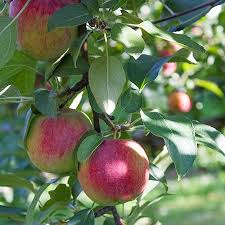 low chill apple trees for sale fast growing trees