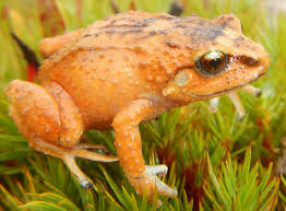 illinois wesleyan lehr team discovers 3 new species of tiny frogs