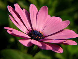 growing osteospermum how to care for african daisies