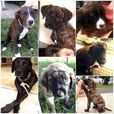 accounting resume exles australian kelpie lab labrador in cairns region qld dogs puppies gumtree