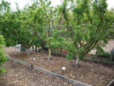 Pomegranate Grown As A Bush Rather Than Tree Farm And Garden - Backyard orchard design