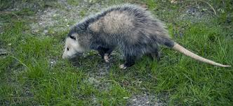 how to get rid of opossums terminix