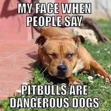 Pitbull Meme - instagram post by pit bull instagram pitbullinstagram pit